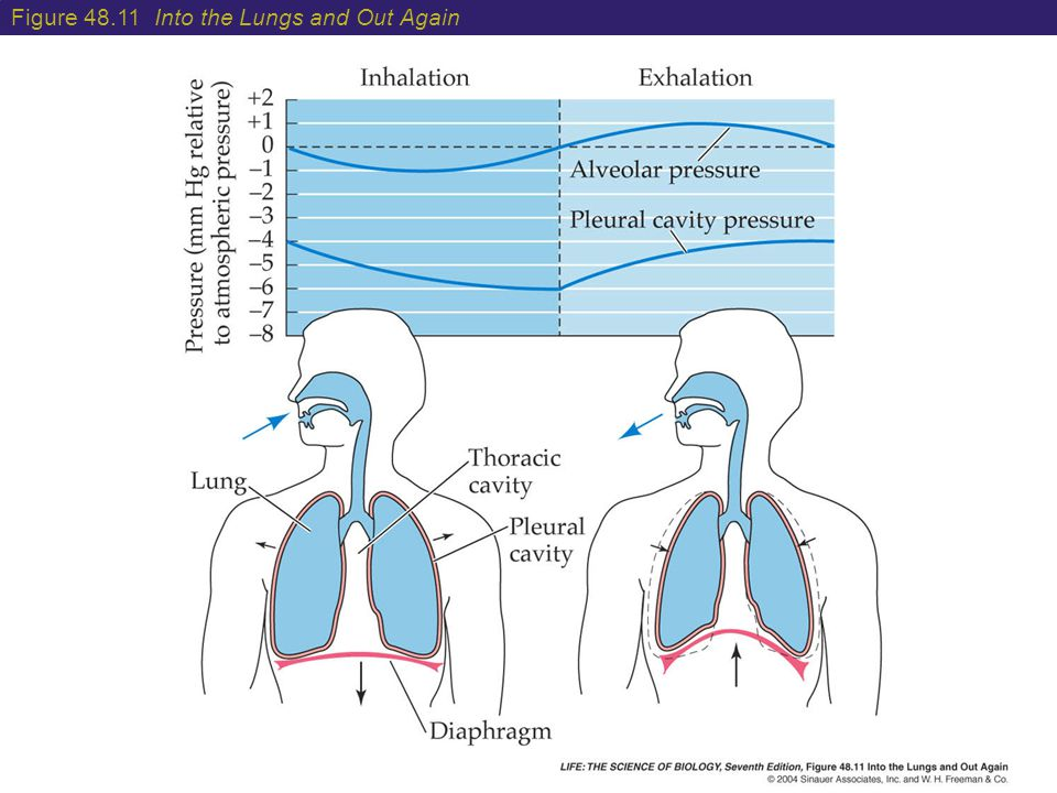 Figure 48.11 Into the Lungs and Out Again