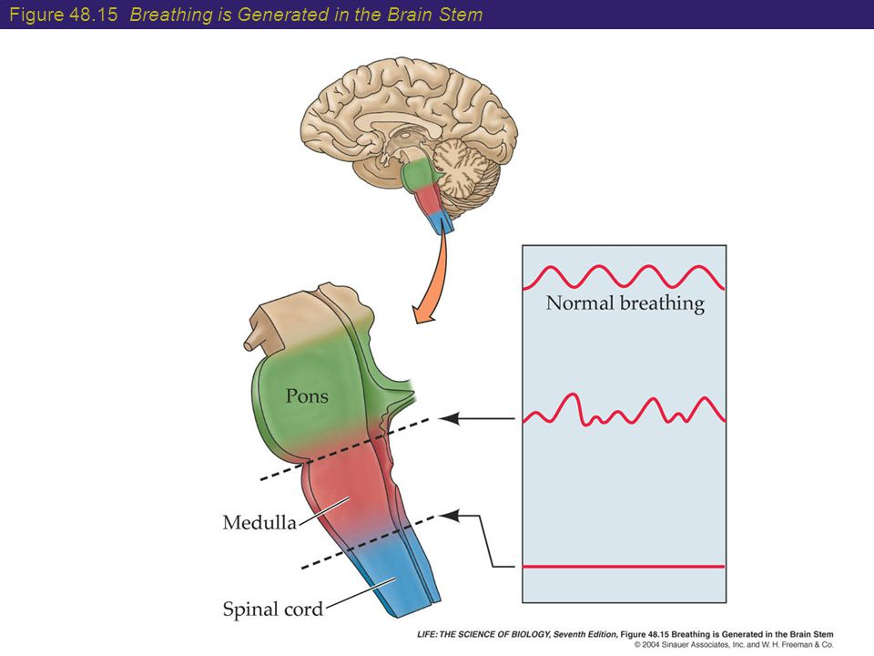 Figure 48.15 Breathing is Generated in the Brain Stem