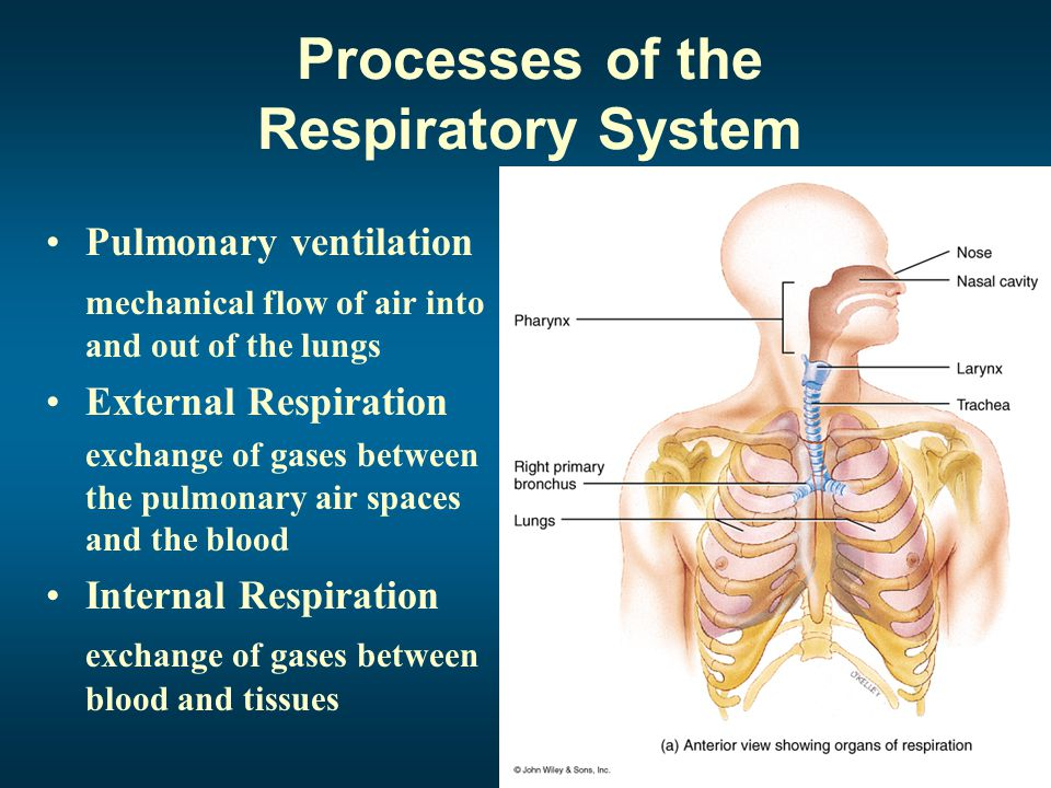 Magnificent Applied Anatomy And Physiology Of Respiratory System Ppt ...