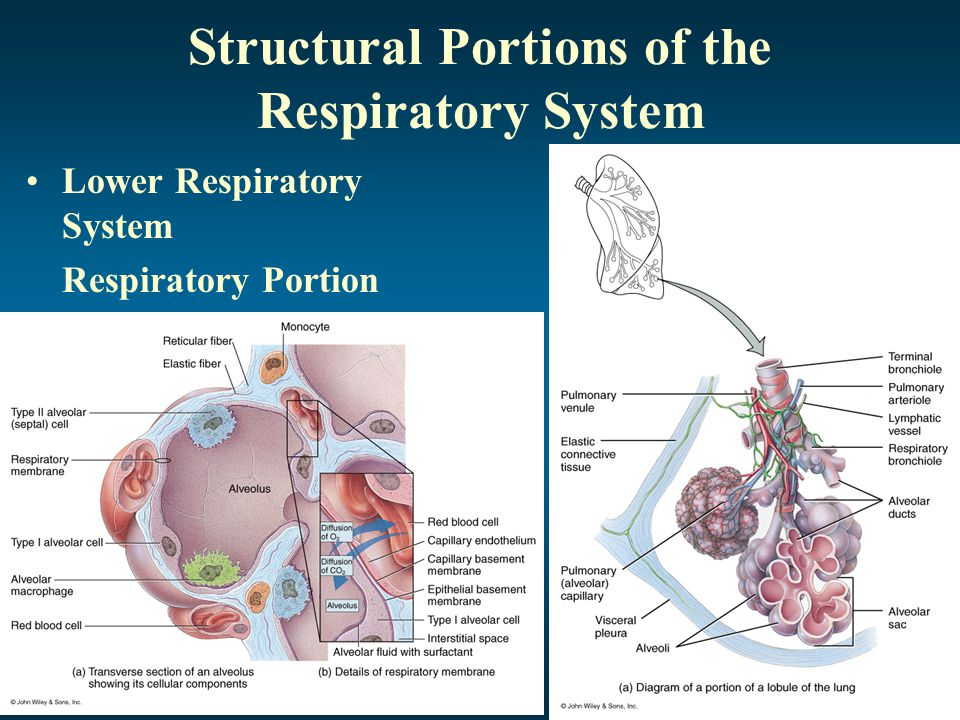 Structural Portions of the Respiratory System