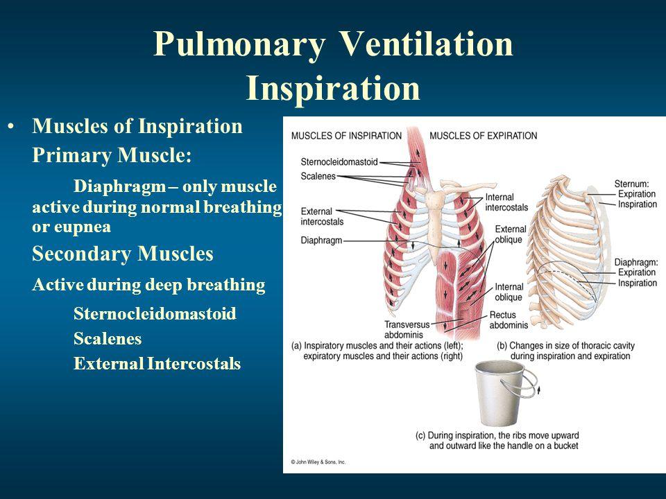 Pulmonary Ventilation Inspiration