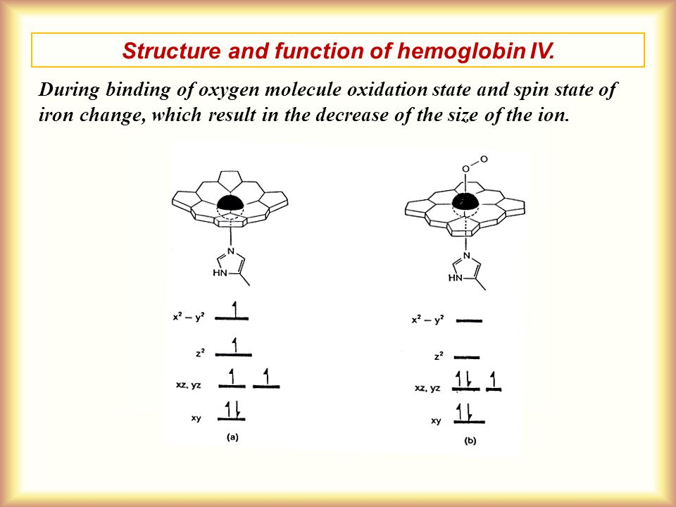 Structure and function of hemoglobin IV.