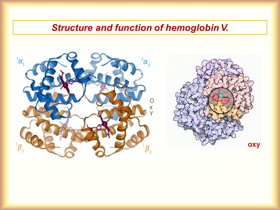 Structure and function of hemoglobin V.