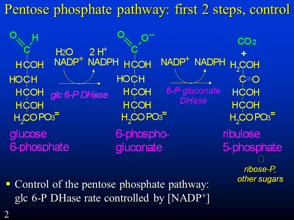 Pentose phosphate pathway: first 2 steps, control