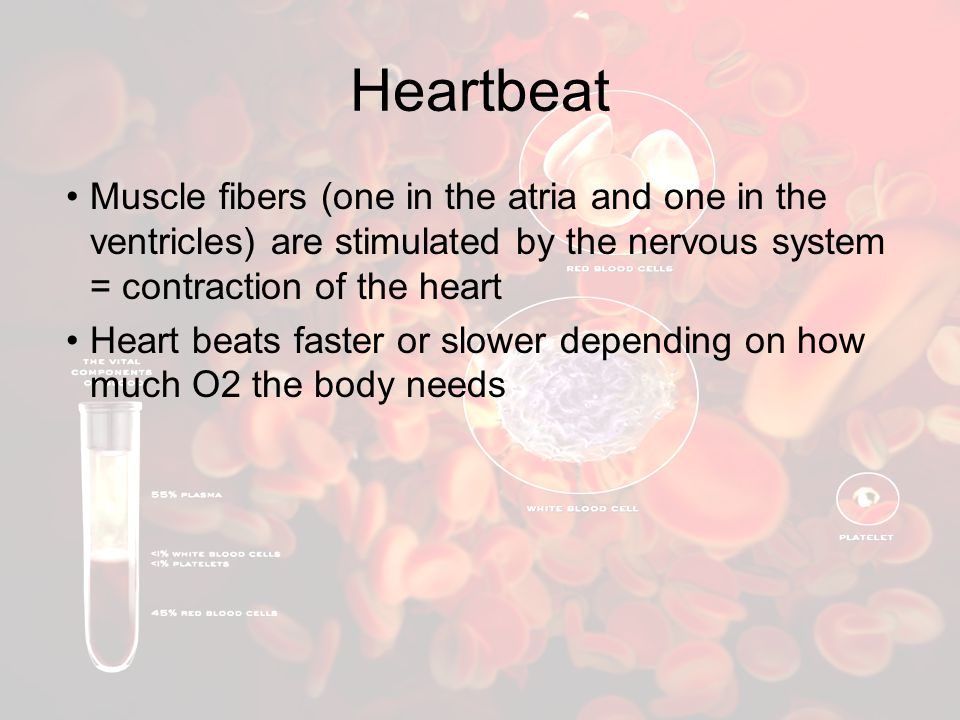 Heartbeat Muscle fibers (one in the atria and one in the ventricles) are stimulated by the nervous system = contraction of the heart.