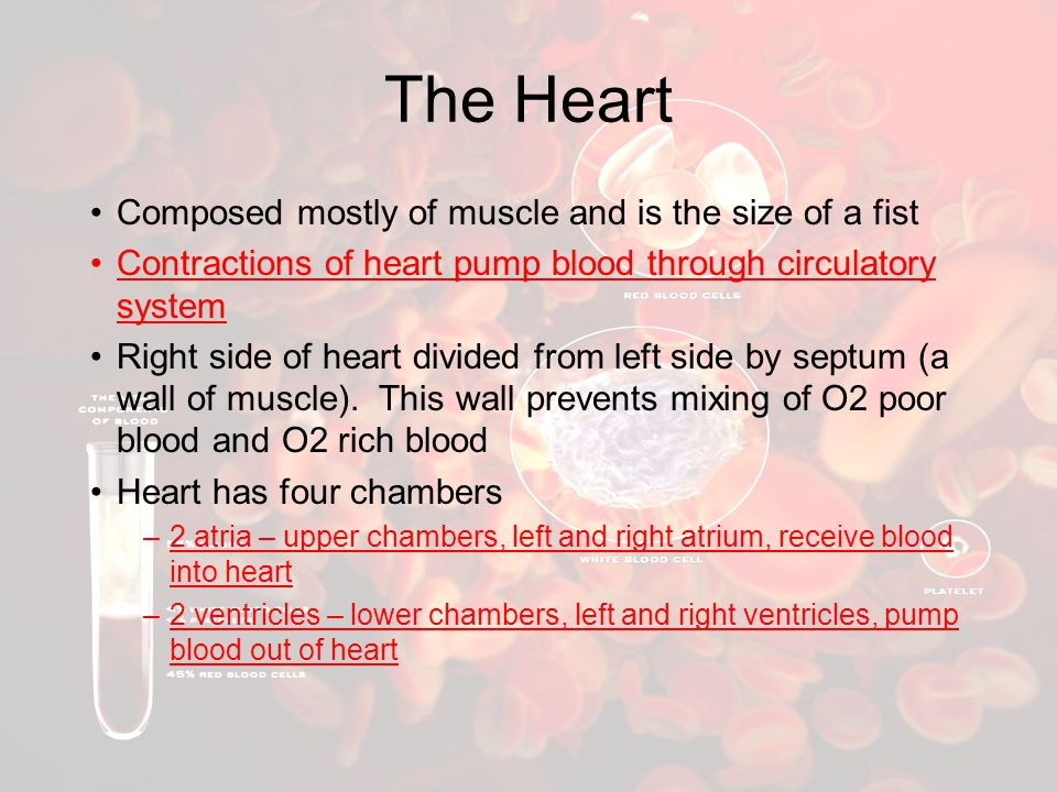 The Heart Composed mostly of muscle and is the size of a fist