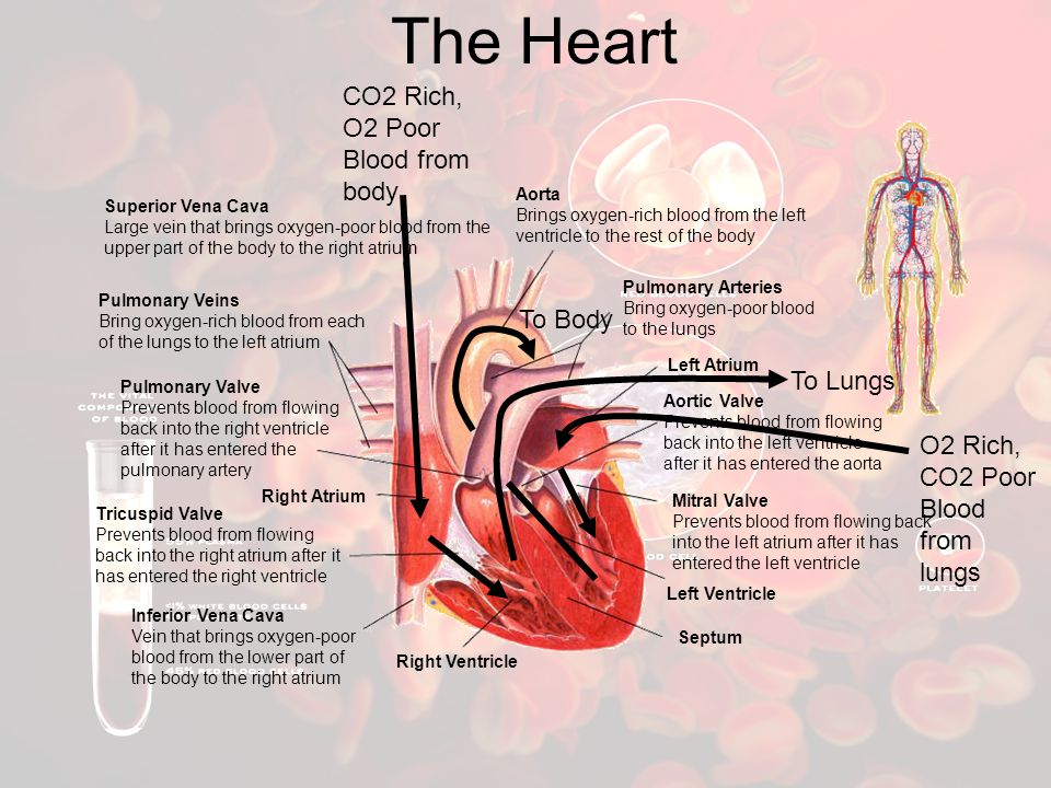 The Heart CO2 Rich, O2 Poor Blood from body To Body To Lungs
