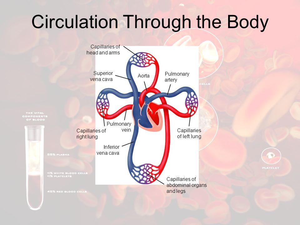 Circulation Through the Body