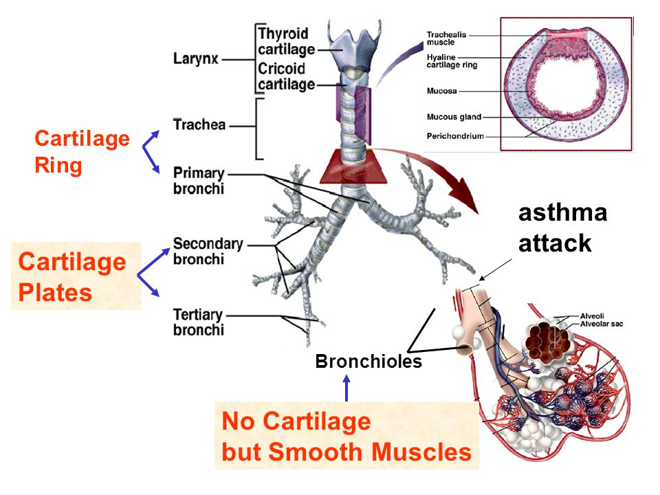 asthma attack Cartilage Plates No Cartilage but Smooth Muscles