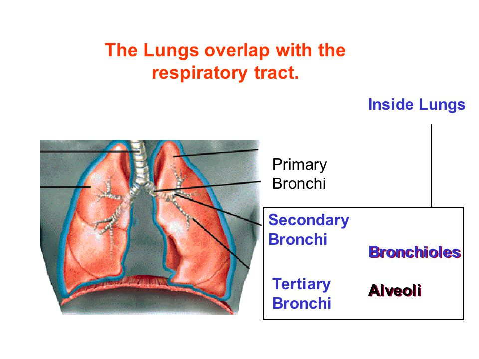 The Lungs overlap with the respiratory tract.