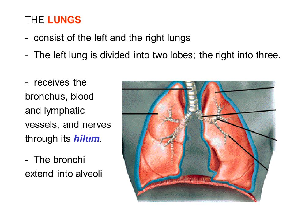 THE LUNGS - consist of the left and the right lungs. - The left lung is divided into two lobes; the right into three.