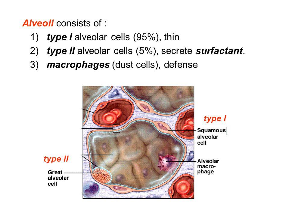 Alveoli consists of : 1) type I alveolar cells (95%), thin. 2) type II alveolar cells (5%), secrete surfactant.