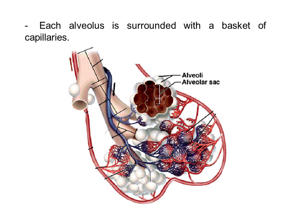 - Each alveolus is surrounded with a basket of capillaries.