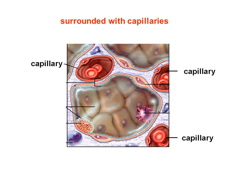 surrounded with capillaries