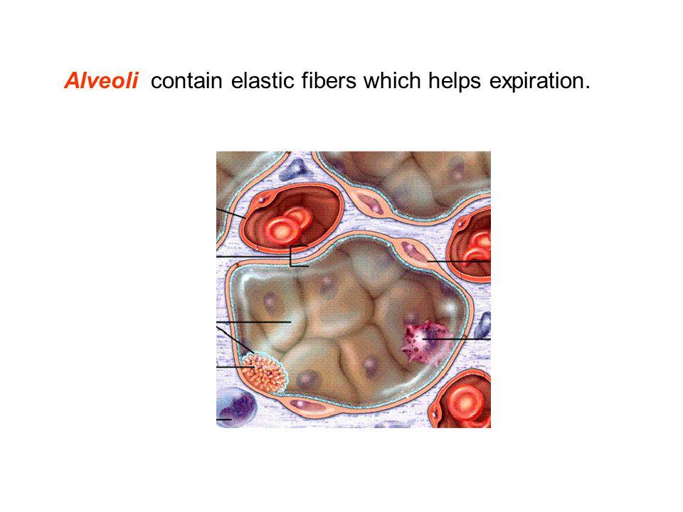 Alveoli contain elastic fibers which helps expiration.