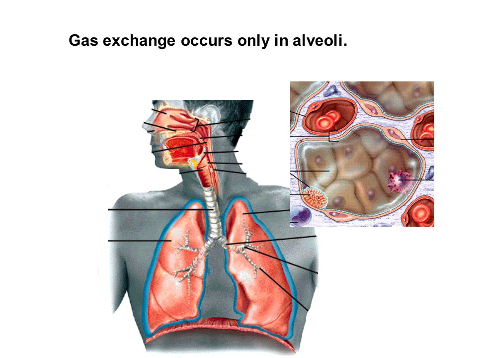 Gas exchange occurs only in alveoli.
