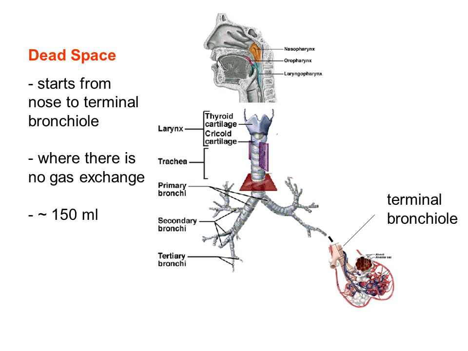 Dead Space - starts from nose to terminal bronchiole.