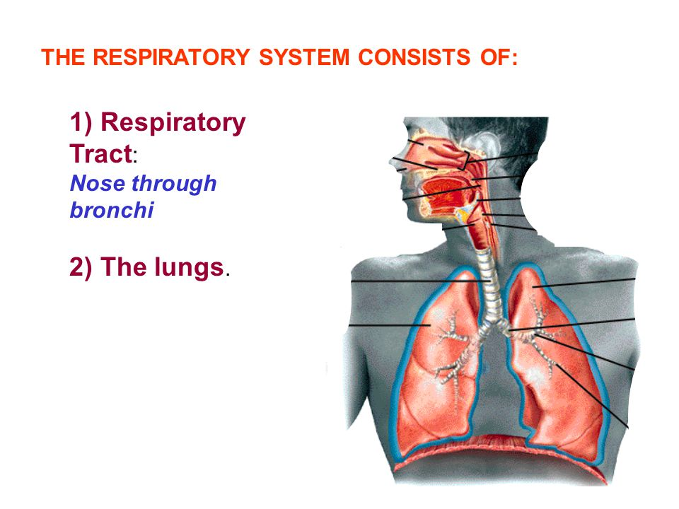 1) Respiratory Tract: 2) The lungs.