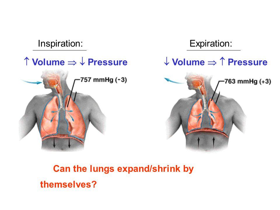 Inspiration: Expiration:  Volume   Pressure.  Volume   Pressure.