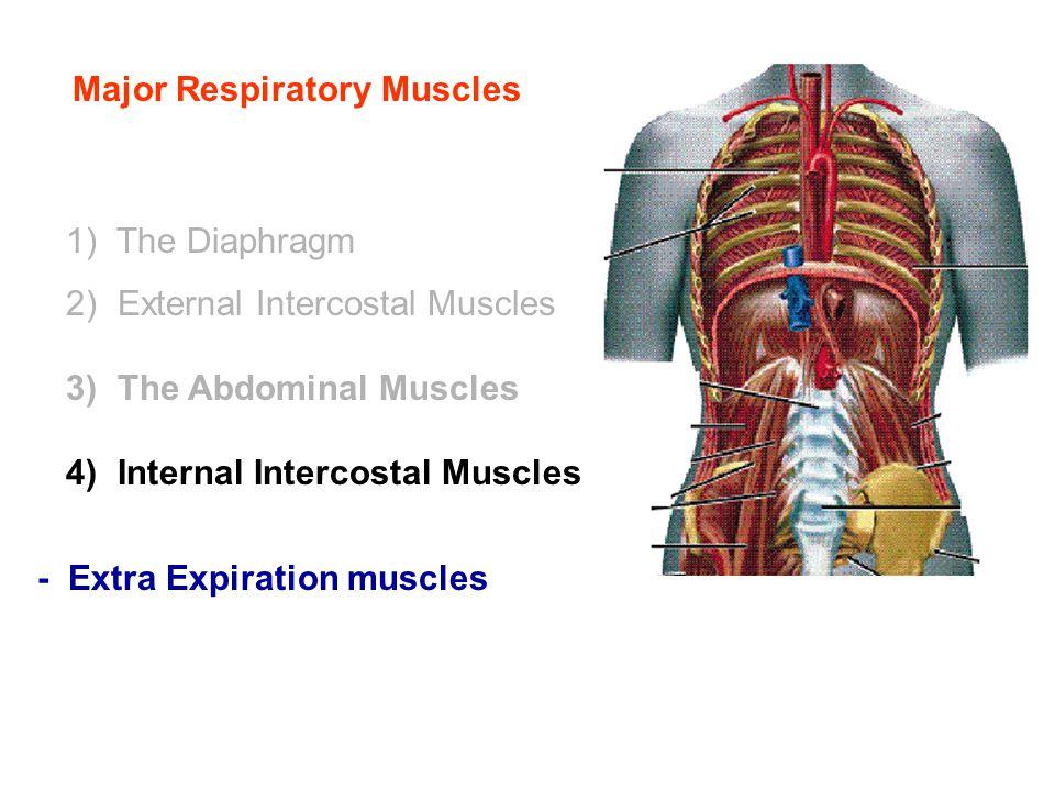 Major Respiratory Muscles