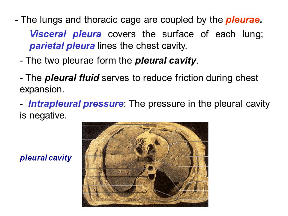 - The lungs and thoracic cage are coupled by the pleurae.