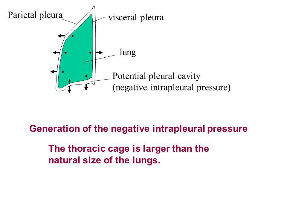 Parietal pleura visceral pleura. lung. Potential pleural cavity. (negative intrapleural pressure)