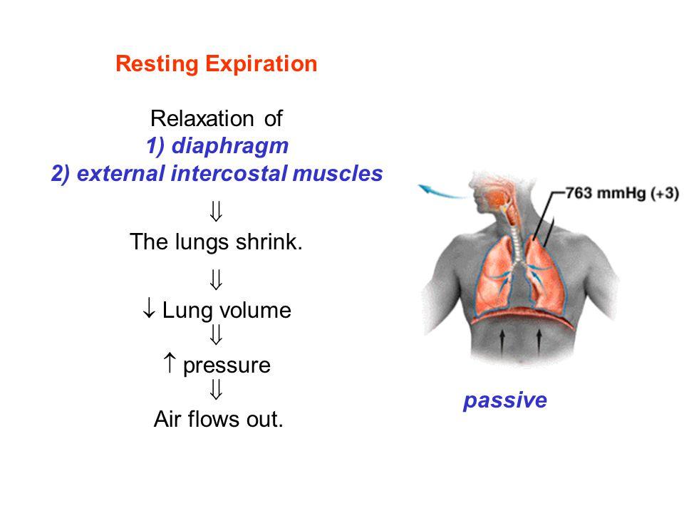 2) external intercostal muscles