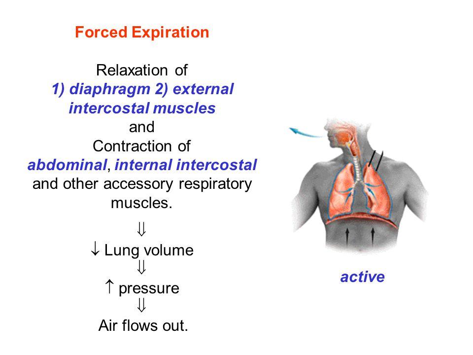1) diaphragm 2) external intercostal muscles