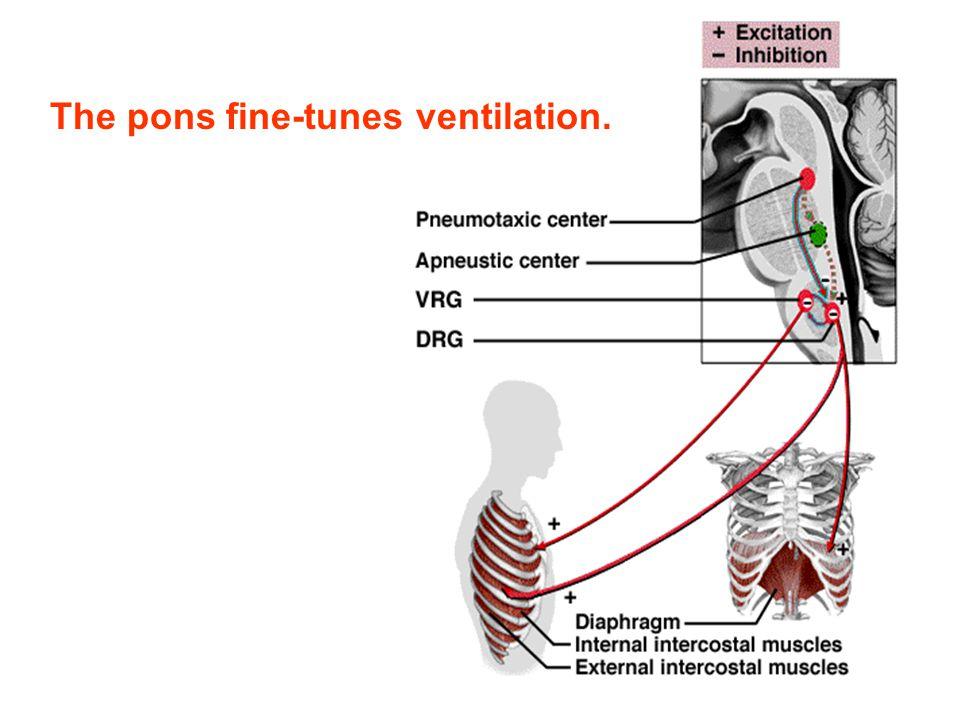 The pons fine-tunes ventilation.