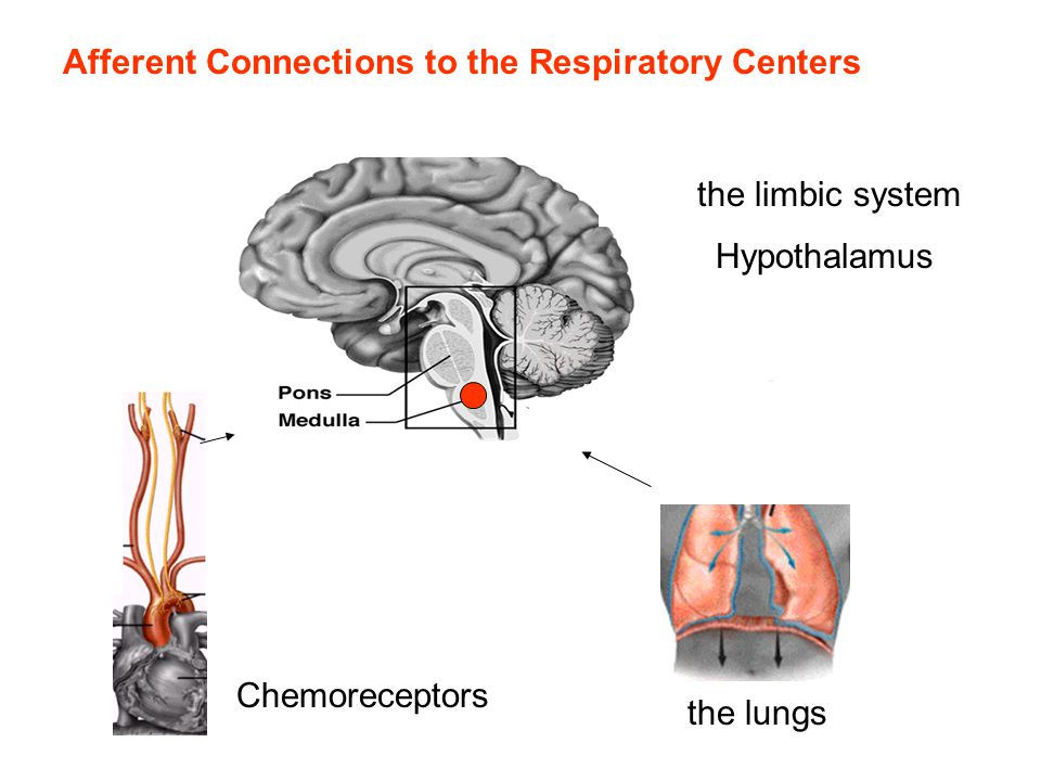 Afferent Connections to the Respiratory Centers