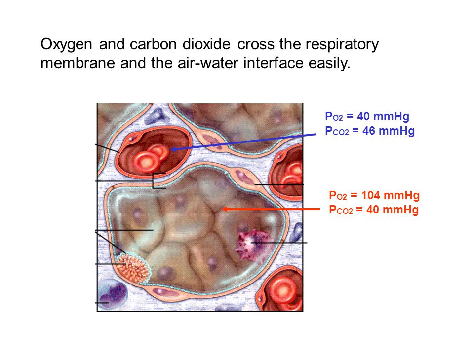Oxygen and carbon dioxide cross the respiratory membrane and the air-water interface easily.