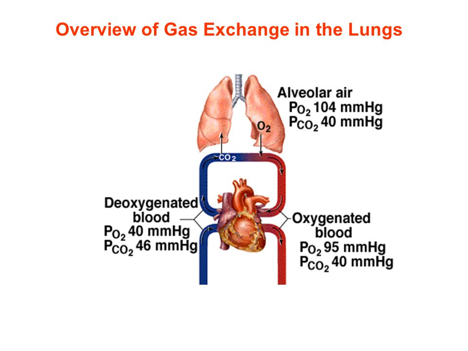Overview of Gas Exchange in the Lungs