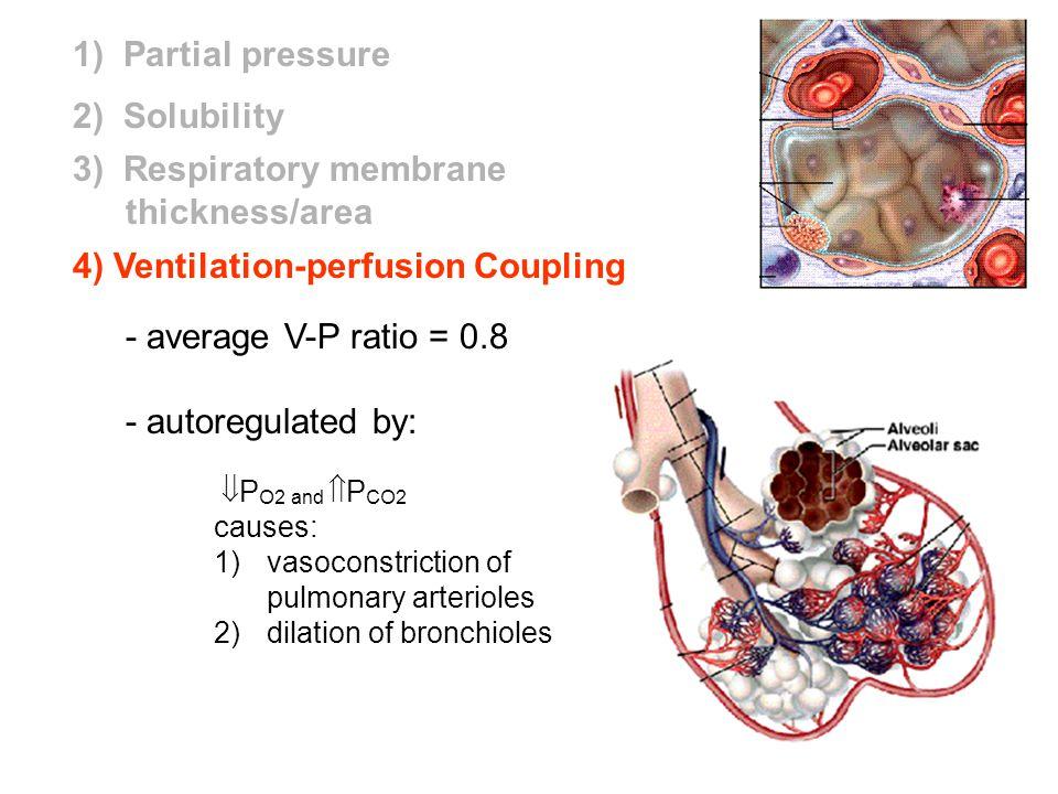 3) Respiratory membrane thickness/area