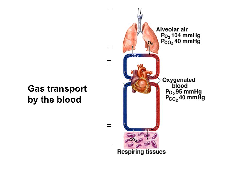 Gas transport by the blood