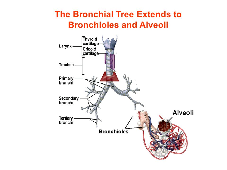 The Bronchial Tree Extends to Bronchioles and Alveoli