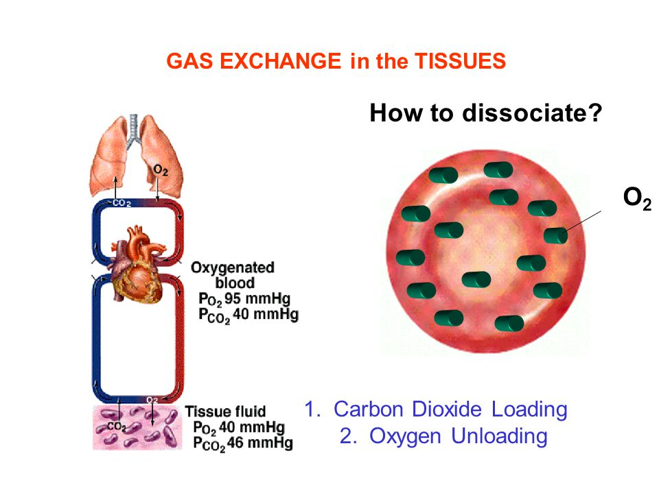 How to dissociate O2 GAS EXCHANGE in the TISSUES