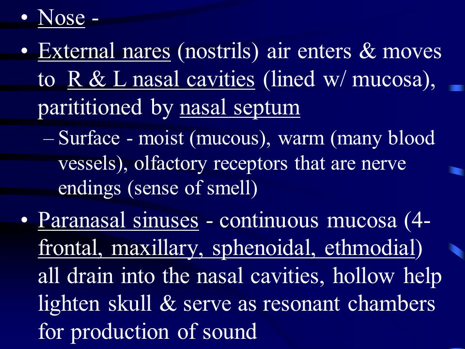 Nose - External nares (nostrils) air enters & moves to R & L nasal cavities (lined w/ mucosa), parititioned by nasal septum.
