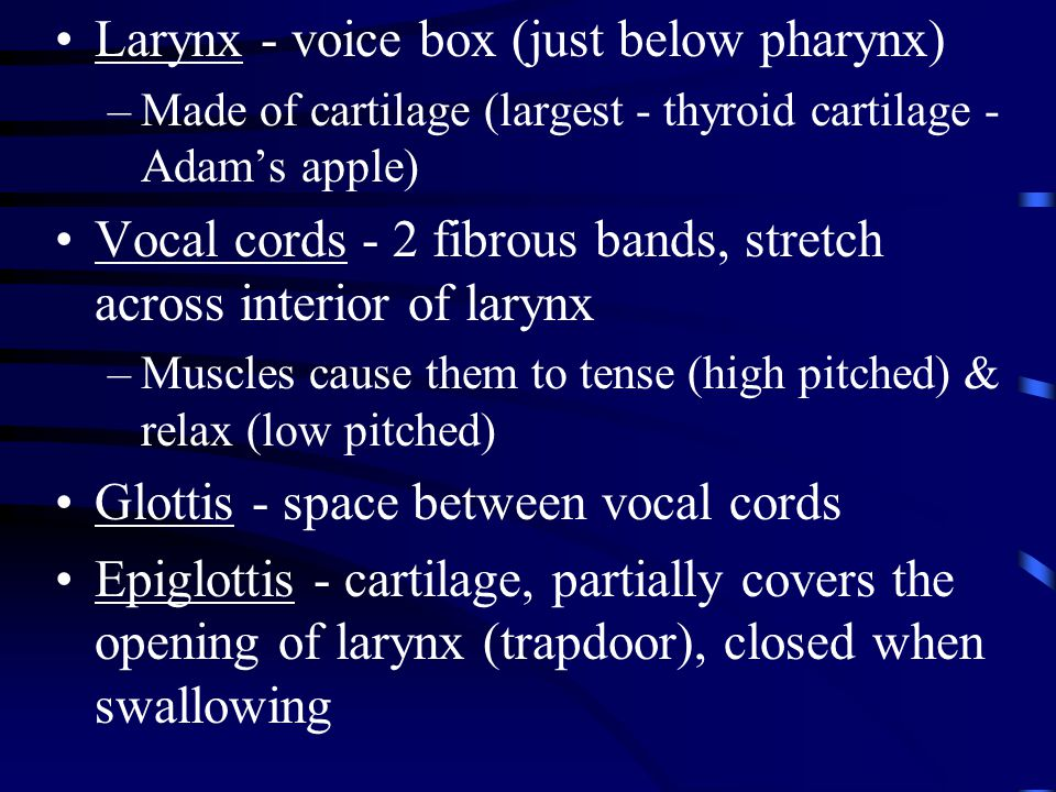 Larynx - voice box (just below pharynx)