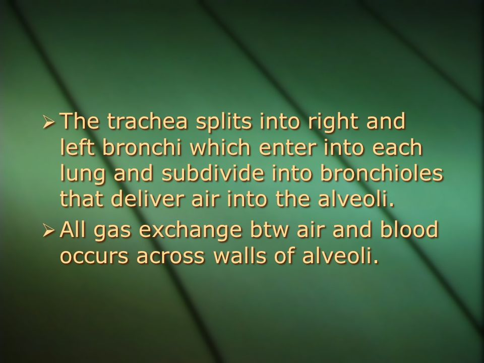 The trachea splits into right and left bronchi which enter into each lung and subdivide into bronchioles that deliver air into the alveoli.
