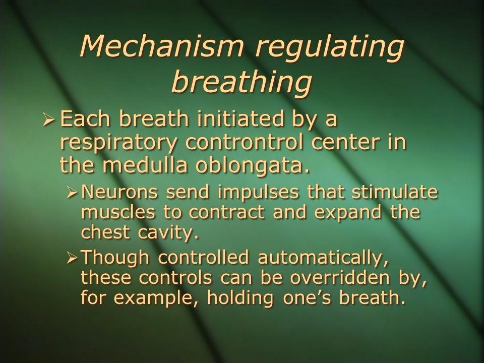 Mechanism regulating breathing