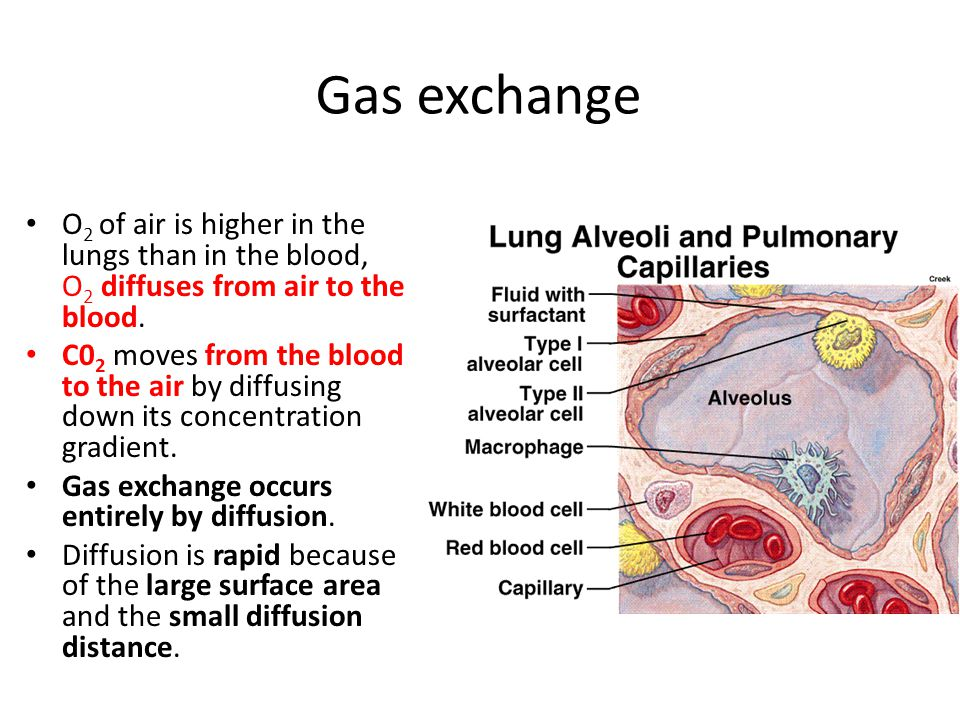 Gas exchange O2 of air is higher in the lungs than in the blood, O2 diffuses from air to the blood.