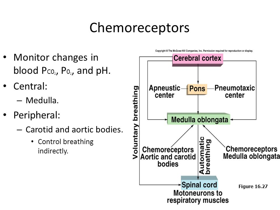 Chemoreceptors Monitor changes in blood PC02, P02, and pH. Central: