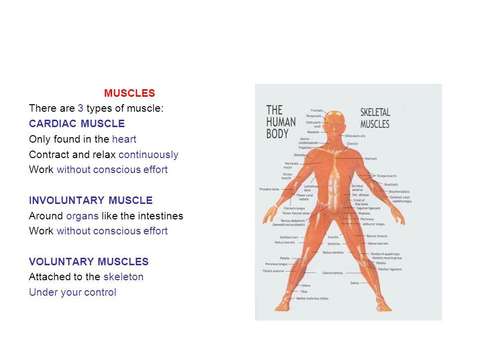 MUSCLES There are 3 types of muscle: CARDIAC MUSCLE. Only found in the heart. Contract and relax continuously.