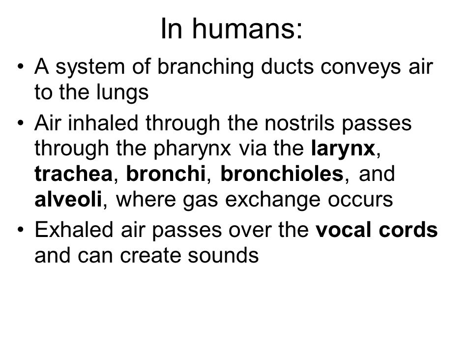 In humans: A system of branching ducts conveys air to the lungs