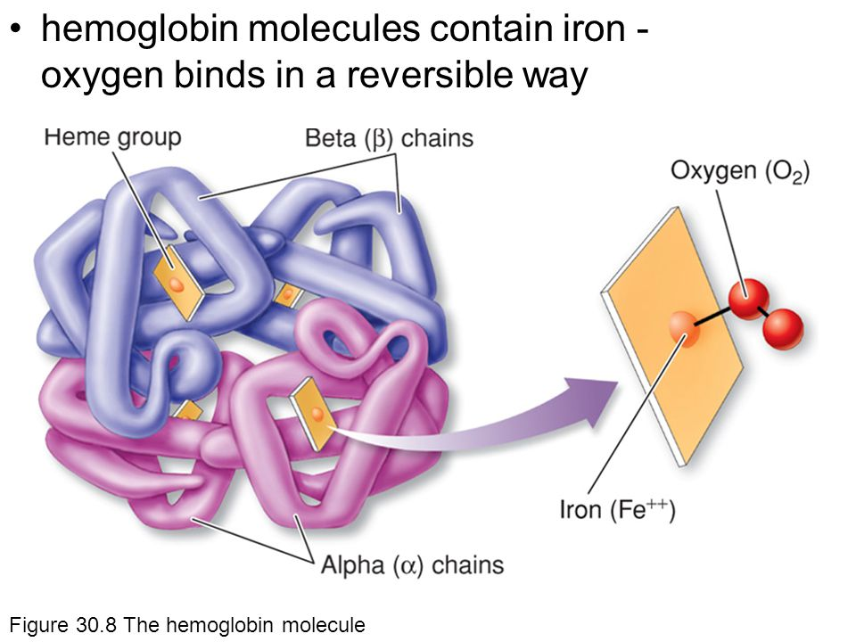 hemoglobin molecules contain iron - oxygen binds in a reversible way