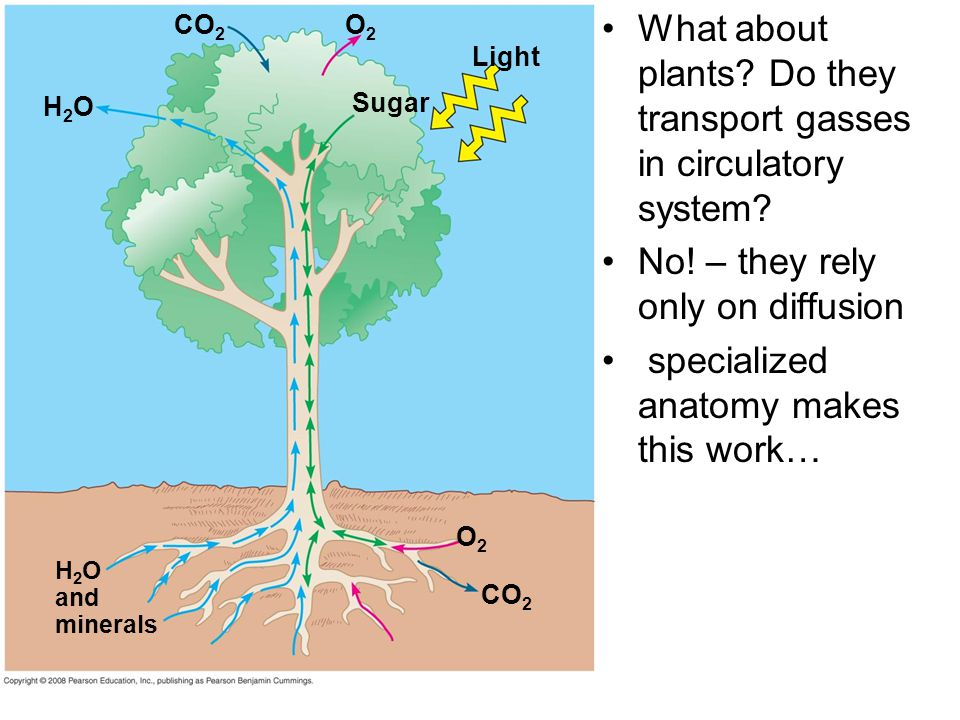 What about plants Do they transport gasses in circulatory system