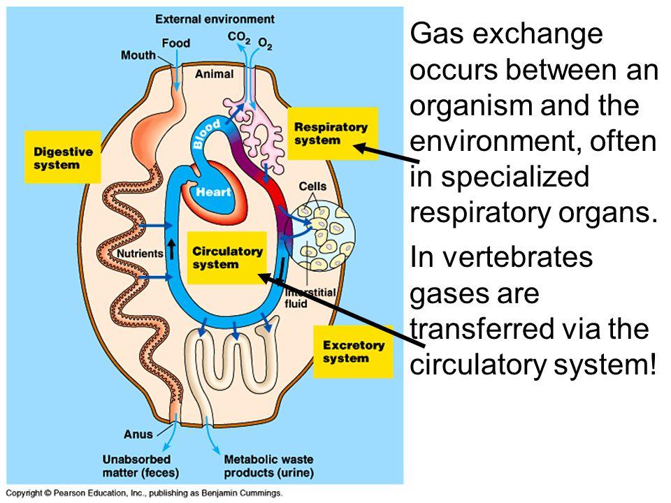 In vertebrates gases are transferred via the circulatory system!