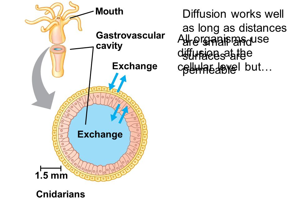 All organisms use diffusion at the cellular level but…