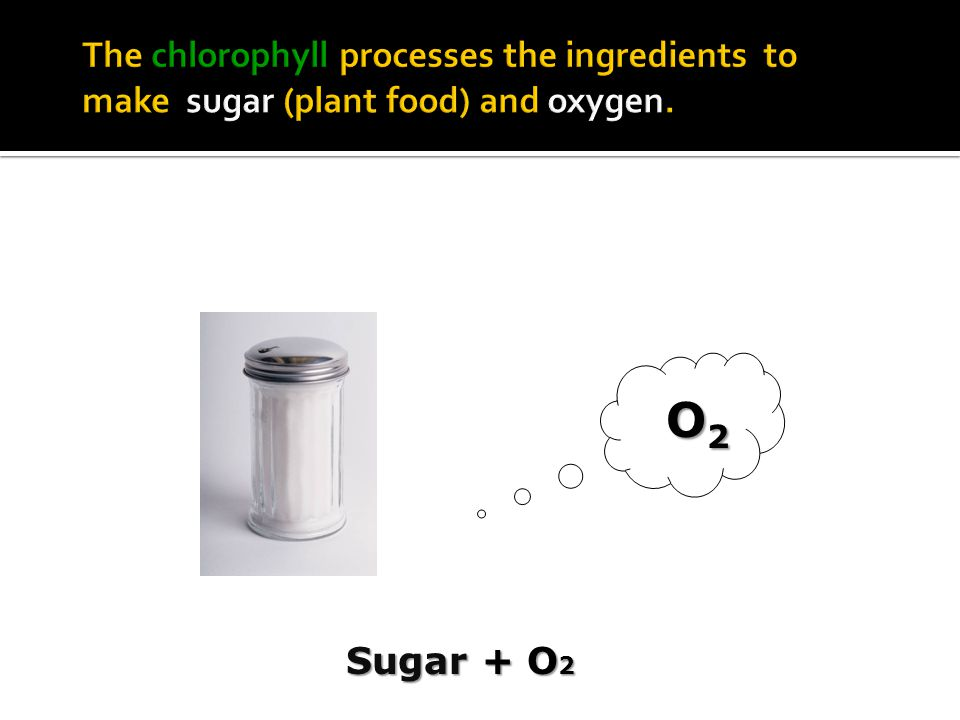 The chlorophyll processes the ingredients to make sugar (plant food) and oxygen.