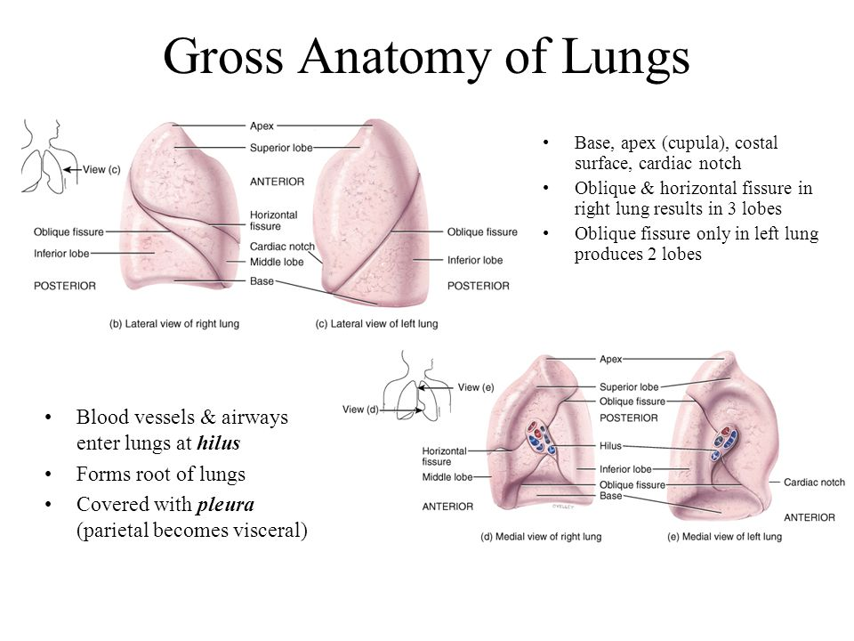 Gross Anatomy of Lungs Blood vessels & airways enter lungs at hilus